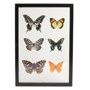 Boîte 6 vrais papillons entre plaques de verre (55 euros)
