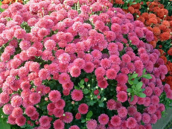 abbildung_chrysantheme5